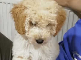 7 miniature poodle x lakeland terrier puppies