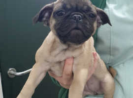 Stunning French Bulldog x Pug pups available