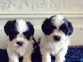 Stunning imperial shih tzu Puppies