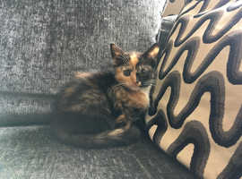 BEAUTIFUL TORTOISESHELL GIRL VET CHECKED CAN DELIVER