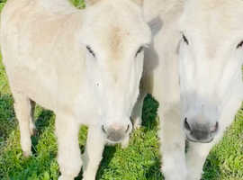 Pair of Jenny donkeys for sale