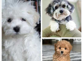 Wanted puppy small Teddy type breed
