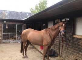 14.2 competition pony