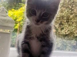 Kitten cat