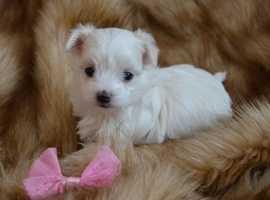 4 Beautiful Top Quality Tea Cup Maltese Pups