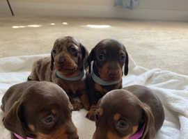 ADORABLE miniature chocolate/dapple dachshund puppies