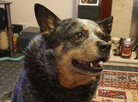 KC registered Australian cattle dog FOR STUD