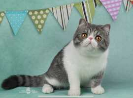 Exotic Cats & Kittens For Sale & Rehome in Manchester | Find