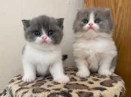 Blue & White Stunning British Shorthair Kittens 2 Left Now!