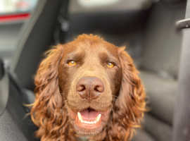 Chocolate/liver Cocker Spaniel for STUD ONLY