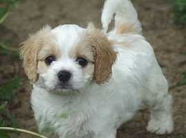 Looking for a female cavachon puppy