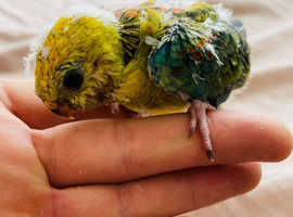 PERFECT PARROTS HAND REARED BABY BIRDS READY FOR HOMES