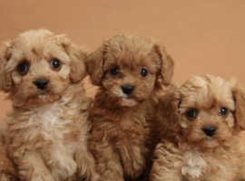 Cavapoo wanted