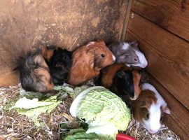 8 week old Boars (Male Guinea Pigs) - Various Colours