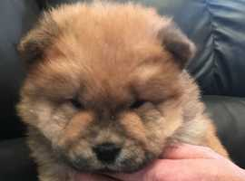 Chow Chow kc reg puppies outstanding pedigree