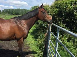 Very pretty light weight TB mare 15hh £3,000 ONO