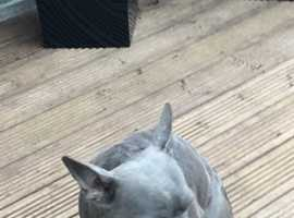 ***blue frenchie for sale ***