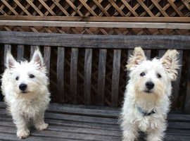 Cairn Terrier Dogs & Puppies Wanted in Lancashire | Find