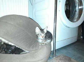 Half Siamese Kittens ready to go..!!!
