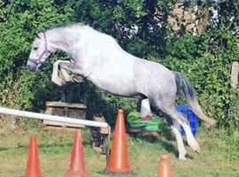 12.2h second pony welsh part bred