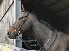 Riding horse/companion