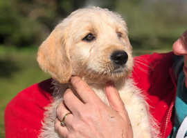 Labradoodle F1 puppies last 3 ready to go
