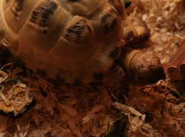 2 horse field tortoises