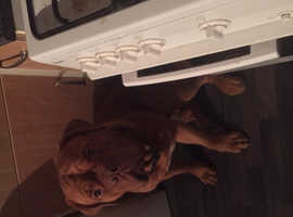 Dogue de Bordeaux called Rocco