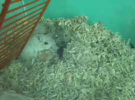 Adult male and female gerbil and 4 baby gerbils
