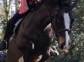 13hh Welsh Section B For Sale