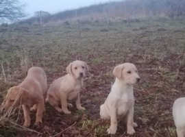 Beautiful Labrador bitches for sale