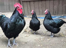 Trio Australorp Chickens