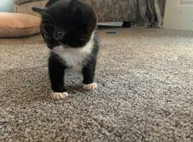 One Special Munchkin ( Dwarf) Kitten