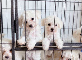 9 weeks old 2x Male/Female Puppy for Sale - SE London