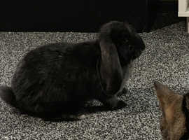 French lop doe very friendly