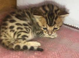 Tica reg boy & girl Bengal kitten June+ July can deliver