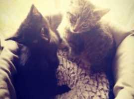 Gorgeous Ragdoll X Bengal X kittens ready now