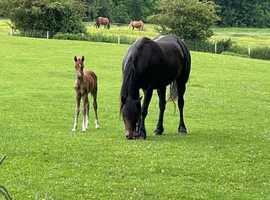 Stunning Welsh D colt foal