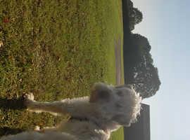 Imported Irish Wheaten Terrier
