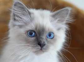 Birman Kitten WANTED - London