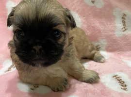 7 3/4 shih 1/4 pugs for sale