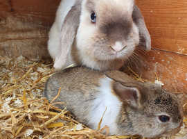Point mini lop looking for her forever home