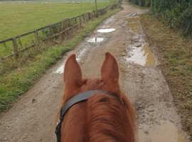 Very Pretty Welsh B Chestnut mare