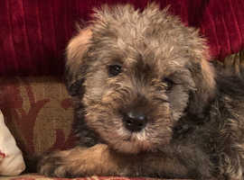F1B SCHNOODLE PUPPIES