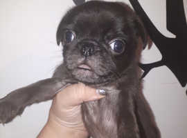 Pug puppy boy last one