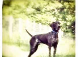 GSP at Stud(Not for sale)