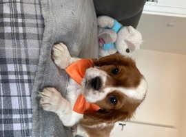 1cavalier King Charles spaniel puppy left