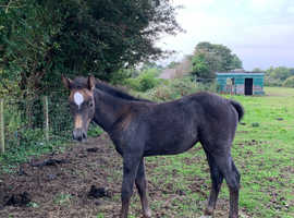 Brood mare with foal to foot