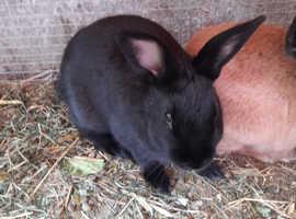 One  baby  female black rabbit