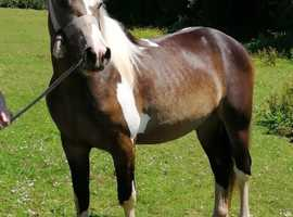 Super Dark Dunn and White Gelding (with a lovely seahorse mark on his shoulder) 2 Year old